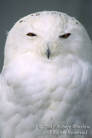 Snowy Owl, Nyctea scandiaca, Controlled Conditions, Canada, North America