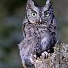 screech owl (gray form) taken by Jerry Dalrymple