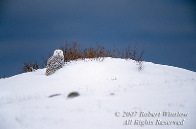 Snowy Owl, Nyctea scandiaca, Along Hudson Bay, Manitoba, Canada,  North America