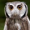 African white faced owl,