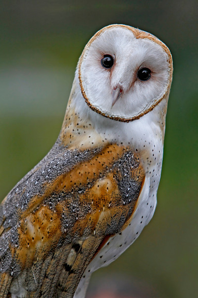 Barn Owl taken by nature photographer Jerry Dalrymple in Ohio