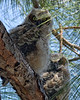 Hoo You Lookin' At?-Great horned owlets, Fort Myers, FL