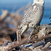 "Snowy Owl, Ocean Shores, Washington <div class=""ss-paypal-button""> <br>Print size5 x 7 $14.00 USD8 x 10 $20.00 USD8 x 12 $20.00 USD11 x 14 $28.00 USD12 x 18 $35.00 USD16 x 20 $50.00 USD<img alt="""" src=""https://www.paypalobjects.com/en_US/i/scr/pixel.gif"" width=""1"" height=""1""> </div><div class=""ss-paypal-button-end"" style=""""></div>"