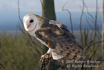Barn Owl, Tyto alba, Controlled Conditions, Arizona Sonora Desert Museum, Tucson, Arizona, USA, North America