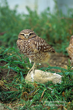 Burrowing Owl, Athene cunicularia, Alberta, Canada, North America, controlled conditions