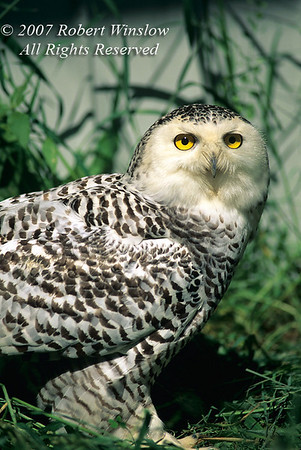 Immature Snowy Owl, Nyctea scandiaca, Controlled Conditions, USA, North America