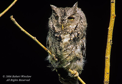 Western Screech-Owl, Otus kennicottii, controlled conditions