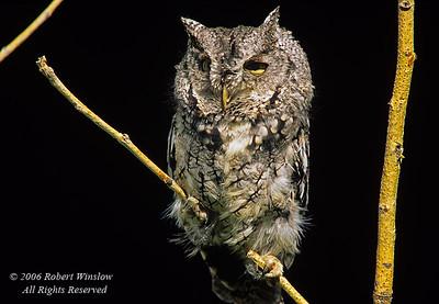 Western Screech-Owl, Otus kennicottii, controlled conditions