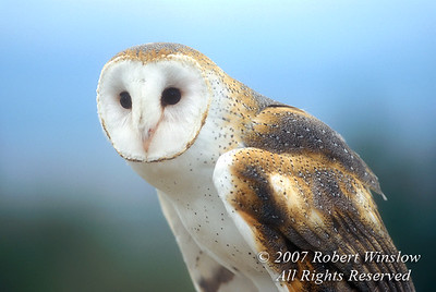Barn Owl, Tyto alba, Controlled Conditions, Arizona Sonora Desert Museum, Tucson, Arizona, USA, North America