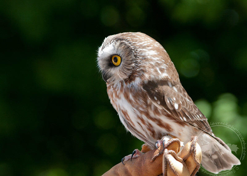 Ned, the saw whet owl, from Wings of Wonder in Empire, Mich.