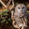 Barred Owl taken by photographer Jerry Dalrymple