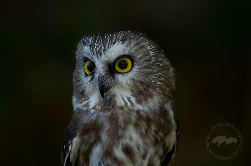 Facial disc feather details of Ned the saw whet owl, Wings of Wonder, Empire, MI