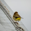 2018-12-10_palm warbler_300,iso400hh_6