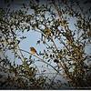 2015-03-02__3021336c18_Palm Warbler,Clearwater,Fl