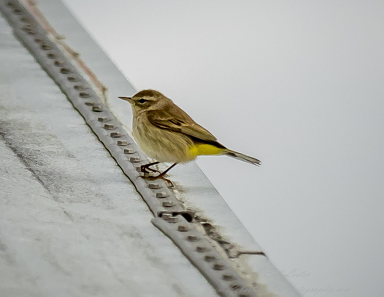 2018-12-10_palm warbler_300,iso400hh_7