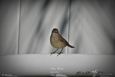 rx10_010_palm warbler_20210220