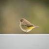 2018-12-10_palm warbler_300,iso400hh_4