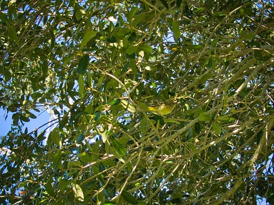 _B030067_Palm Warbler