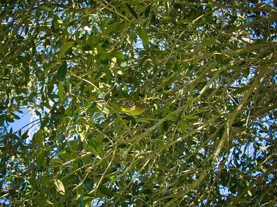 _B030065_Palm Warbler
