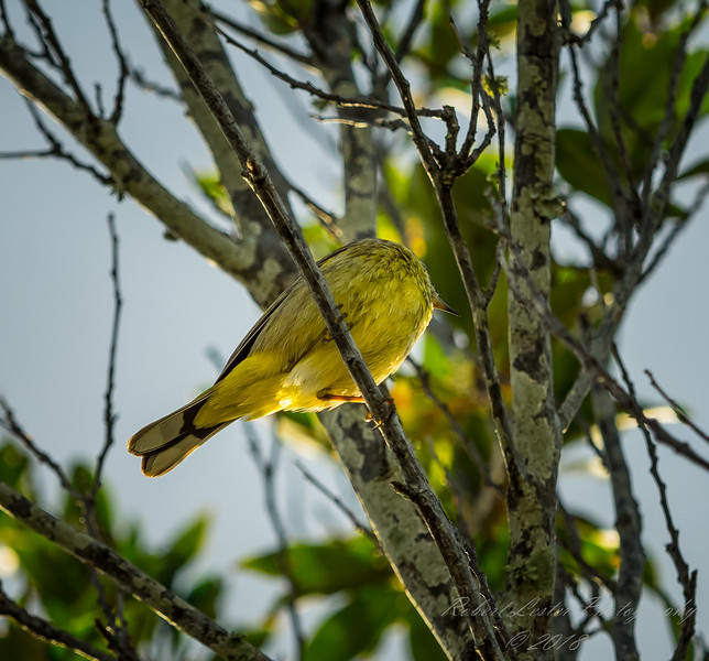 Palm Warbler    (sunrise,sharpm,vigm,8x10)   2018-02-22-2220035