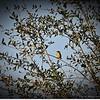 2015-03-02__3021340c20_Palm Warbler,Clearwater,Fl