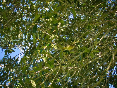 _B030066_Palm Warbler