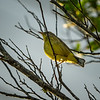 Palm Warbler    (sunrise,sharpm,vigm,8x10)   2018-02-22-2220032