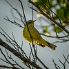 Palm Warbler    (sunrise,sharpm,vigm,8x10)   2018-02-22-2220031
