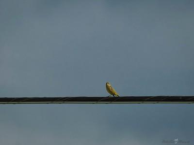 _B130048_Palm Warbler