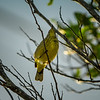 Palm Warbler    (sunrise,sharpm,vigm,8x10)   2018-02-22-2220033
