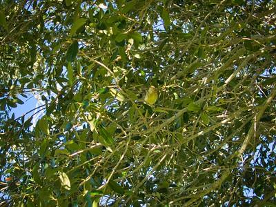 _B030068_Palm Warbler