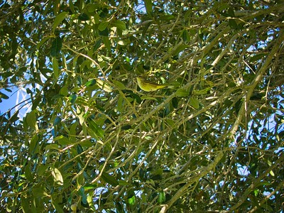 _B030064_Palm Warbler