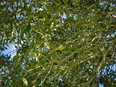 _B030069_Palm Warbler