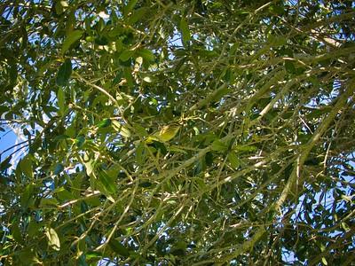 _B030070_Palm Warbler