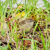 2018-12-10_palm warbler_300,iso400hh_3