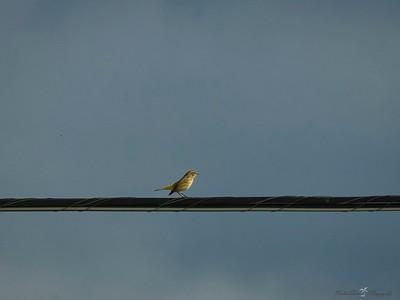 _B130049_Palm Warbler