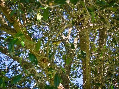_B030072_Palm Warbler