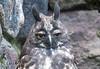 Stygian Owl (Asio stygius) shot from behind a fence  at Parque Condor, Otavalo, Ecuador