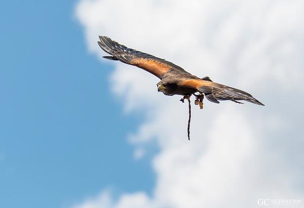 Henrietta the Harris Hawk (Parabuteo unicinctus)  at Parque Condor, Otavalo, Ecuador