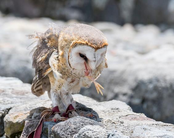 Barn Owl (Tyto alba) snacking on a chicken leg  at Parque Condor, Otavalo, Ecuador