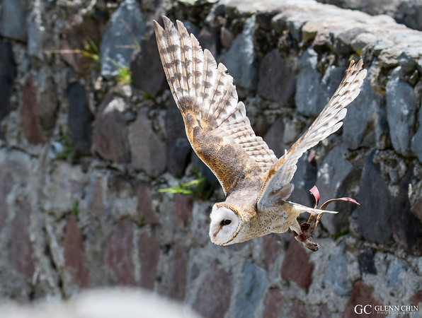 Barn Owl (Tyto alba)  at Parque Condor, Otavalo, Ecuador