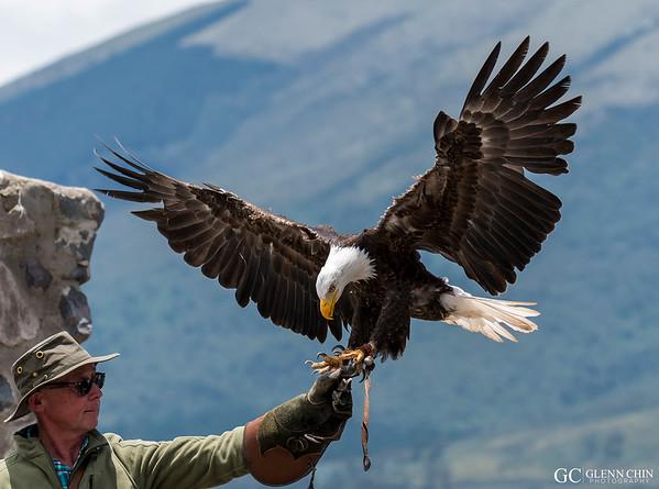 Gringo the  Bald Eagle (Haliaeetus leucocephalus)  at Parque Condor, Otavalo, Ecuador