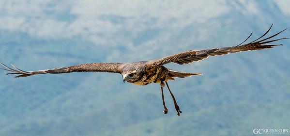 Young Black-chested Buzzard-Eagle  at Parque Condor, Otavalo, Ecuador