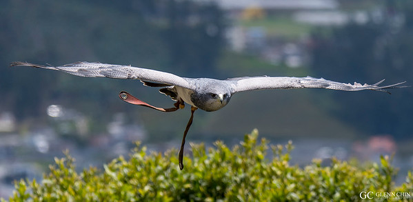 Black-chested Buzzard-eagle (Geranoaetus melanoleucus)  at Parque Condor, Otavalo, Ecuador