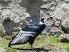 Andean condor (Vultur gryphus)  at Parque Condor, Otavalo, Ecuador