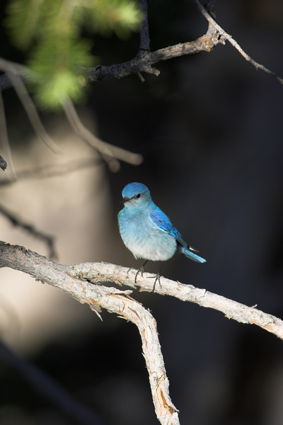 Mountain Bluebird, Bryce Canyon NP(2)