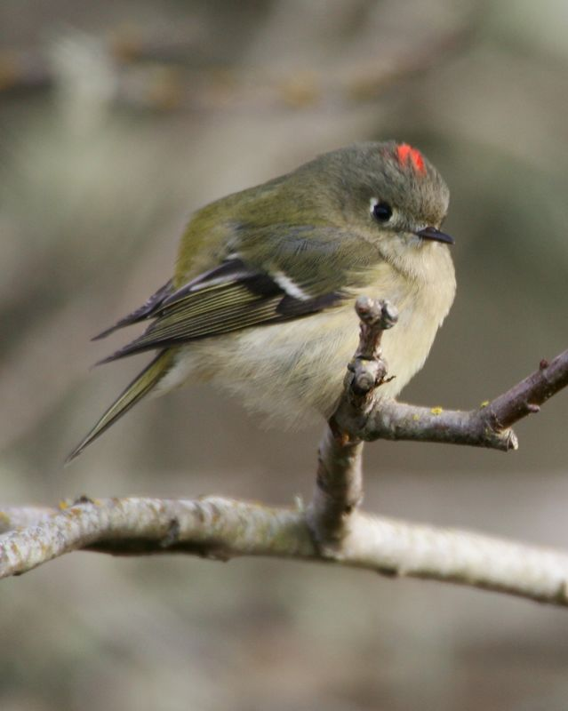 Ruby Crowned Kinglet  2 Arcata, CA