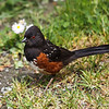 Spotted Towhee, Oregon. formerly named Rufus Sided Towhee