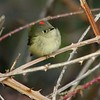 Ruby Crowned Kinglet  Arcata, CA