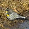 Audubon Warbler, Sacramento, Ca
